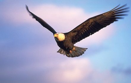 Bald-eagle-flying_858