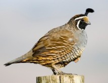 Blog. california-quail 2