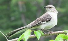 Blog. Mockingbird