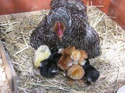 Blog.hen with flockofchicks.8.09