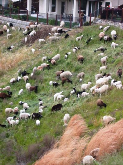 Blog. Sheep grazing Spfd. 3. 4.9.10 04-05-10-03[1]