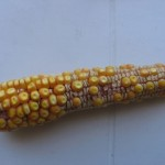 Blog. Drought-Corn-Ear-150x150. 9.12