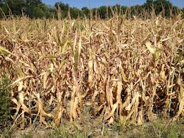 Blog. Drought corn. 9.12 imagesCA6ATSXA