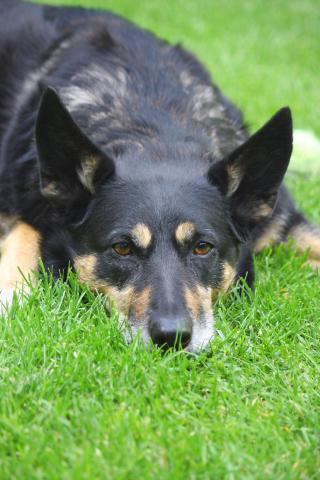 Blog. German Shepherd. 10.20